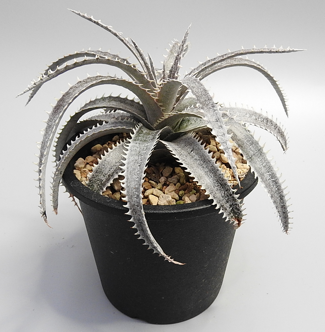 [No.053] Dyckia (Arizona x ML) x Bone  7,000円