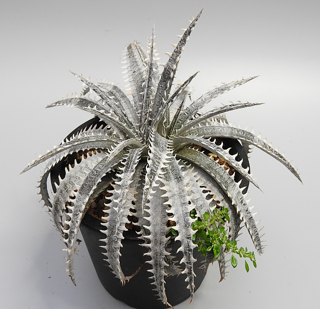 [No.056] Dyckia Sawfish x (Toothy x Richard Kaz)  7,000円