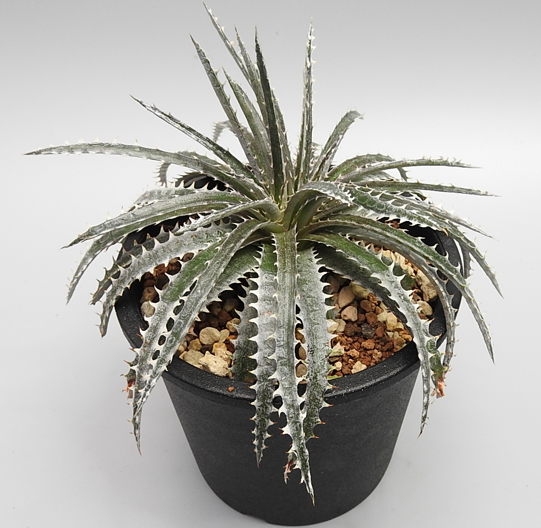 [No.059] Dyckia Bone x Sawfish  7,000円