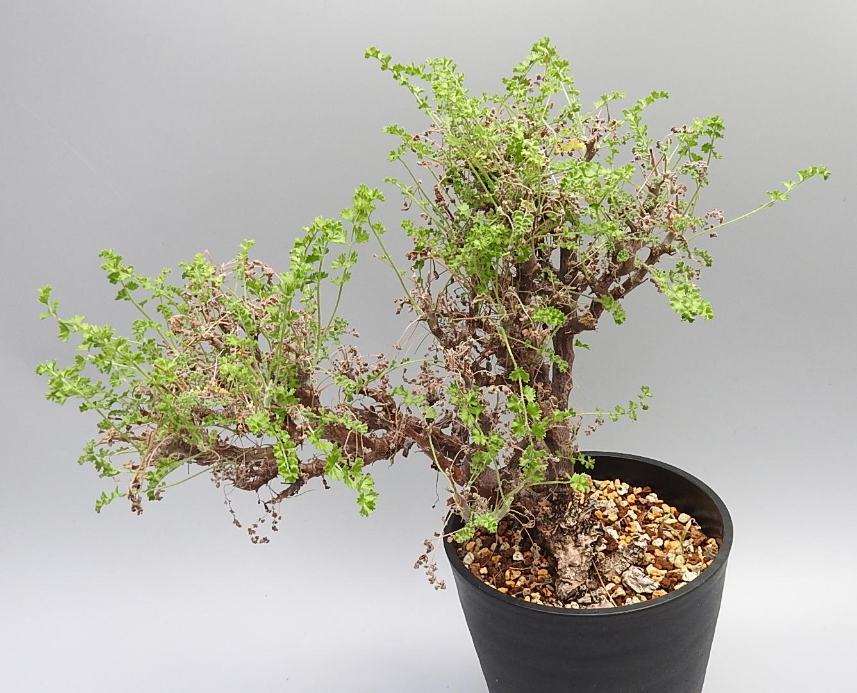 [No.126] pelargonium alternans 10,000円
