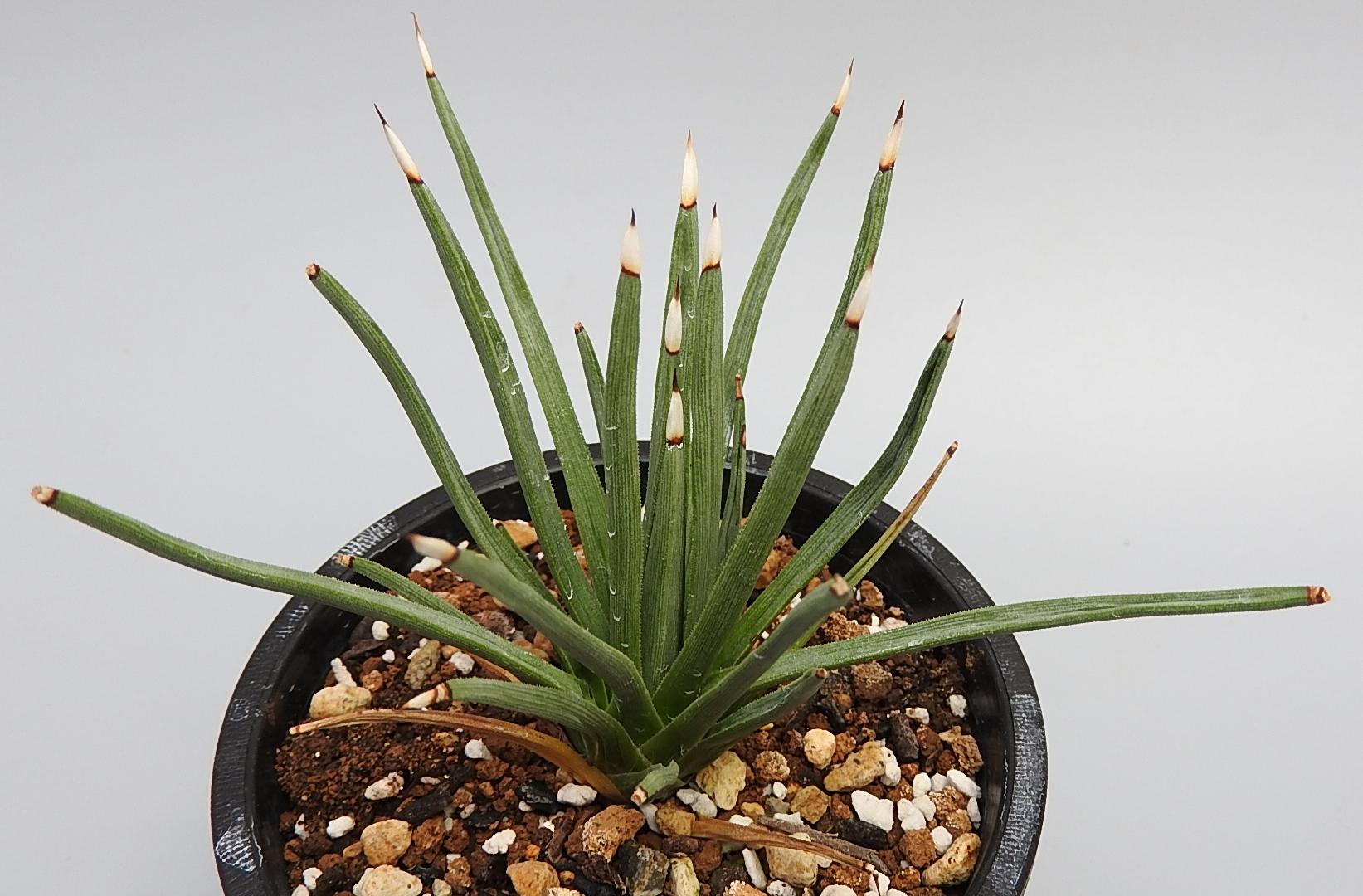 [No.198] agave albopilosa 12,000円