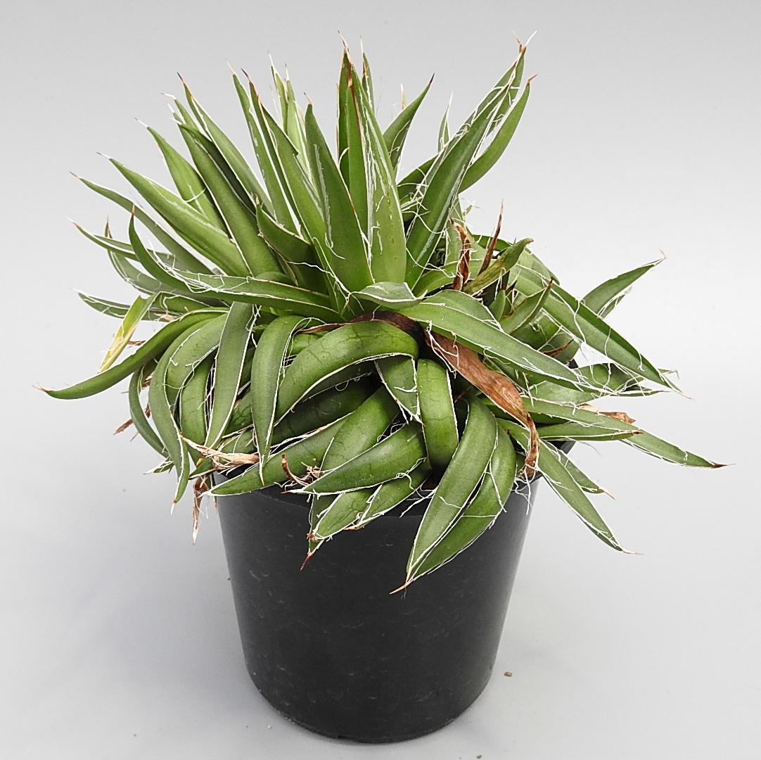 [No.217] agave 笹の雪 綴化 4,000円